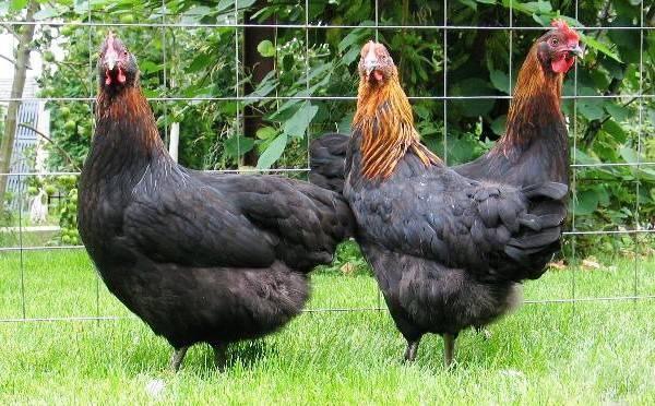 Московская черная порода кур - описание, цыплята, фото и видео | россельхоз.рф