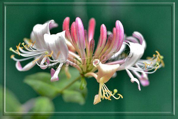 Декоративная жимолость: лучшие сорта с описанием и фотографиями, правила выращивания и ухода