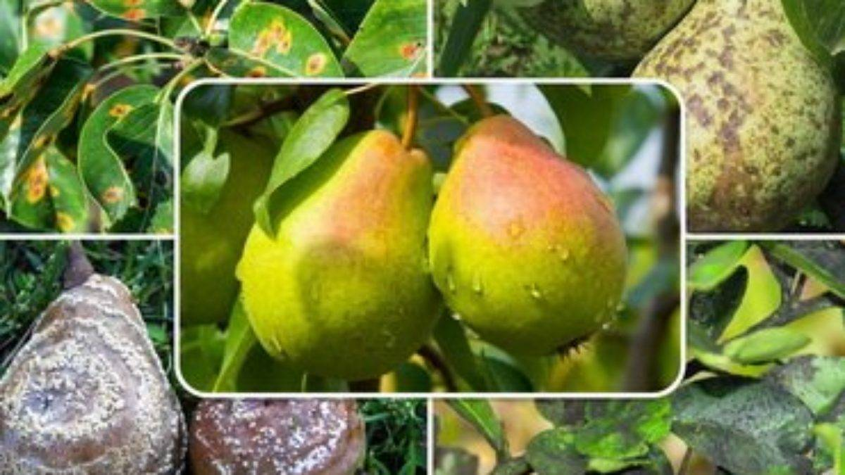 Декоративная груша вьющаяся: посадка, уход и разновидности - 15 фото
