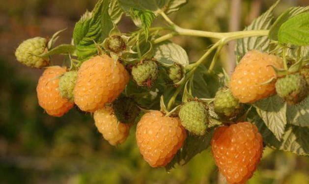 Жёлтая малина — сорта, выращивание и уход. посадка. фото — ботаничка.ru