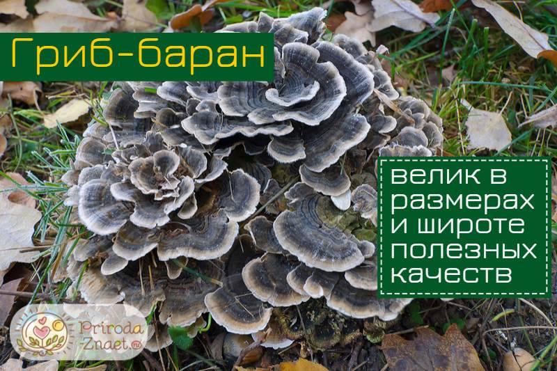 Гриб баран как приготовить настойку. гриб баран: фото и описание
