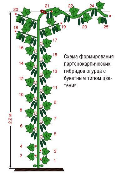 Пошаговая инструкция по формированию огурцов в теплице и открытом грунте