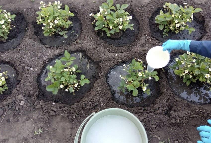 Как и чем подкормить клубнику осенью? как подкармливать после обрезки? чем удобрять, чтобы был хороший урожай? осенняя подкормка при посадке