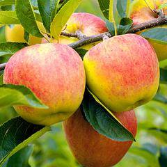 Баяна сорт яблони