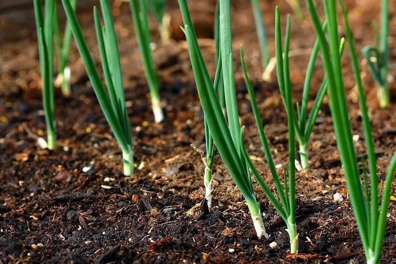 Как выращивать зеленый лук из семян в домашних условиях?