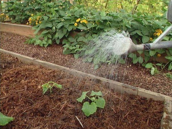 Как поливать огурцы: как часто, чем поливать, в открытом грунте, в теплице