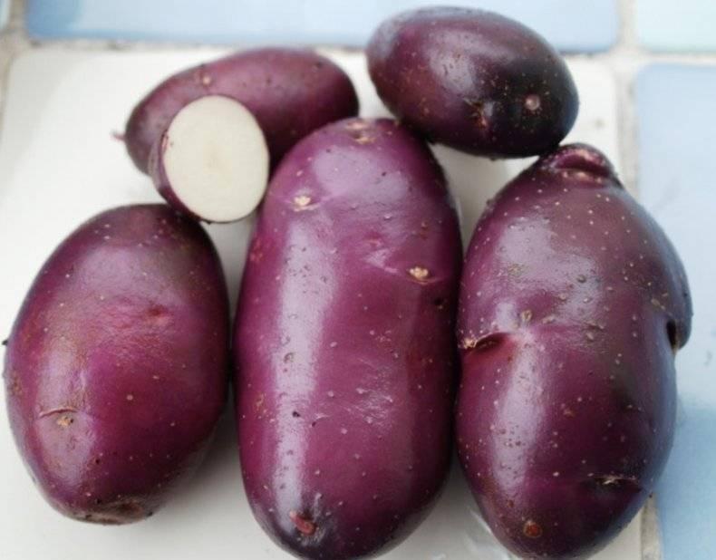 Фиолетовый картофель - сорта с окрашенной мякотью!