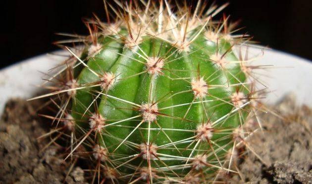 Кактусы: выращивание, сорта, уход и размножение