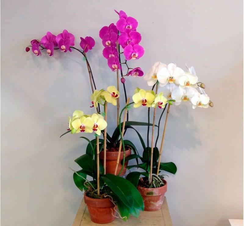 Сколько живет орхидея фаленопсис и как омолодить старое растение? уход за цветком в разные периоды