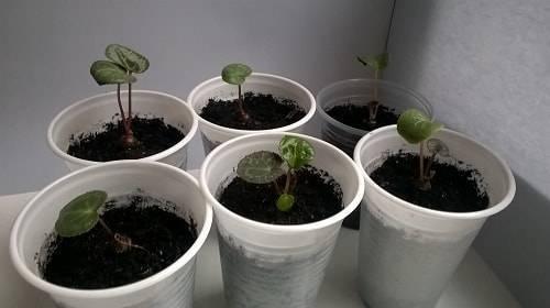 Секреты выращивания цикламена