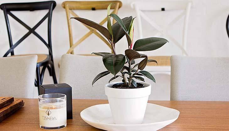 Идеальное растение для выращивания в домашних условиях — фикус