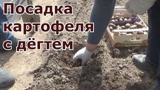 Березовый деготь от колорадского жука: правила обработки кустов