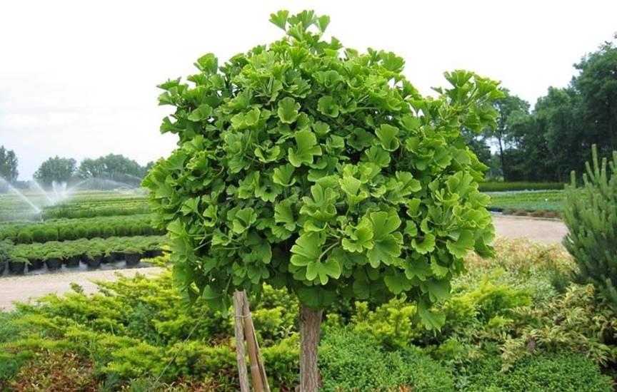 """Дерево """"гинкго билоба"""": выращивание из семян в домашних условиях"""