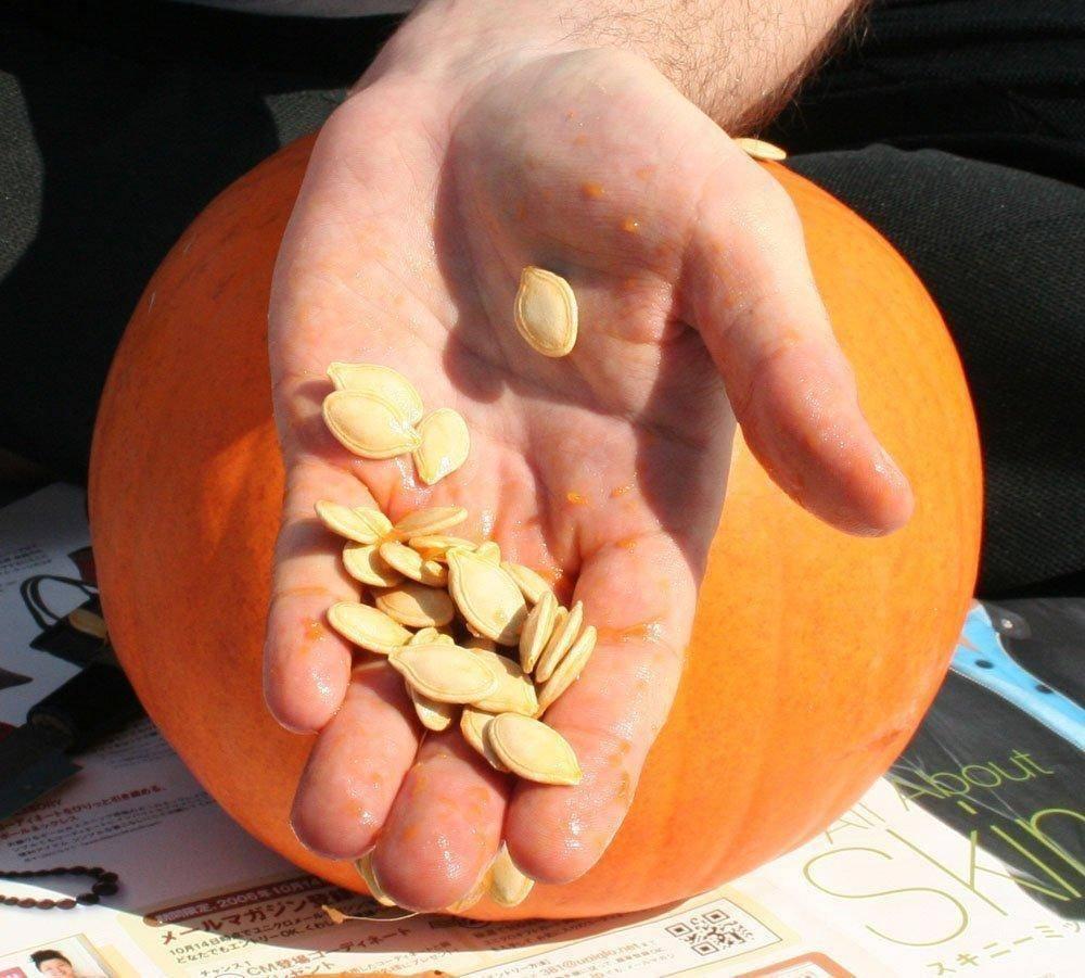 Как быстро прорастить семена тыквы: подробная инструкция