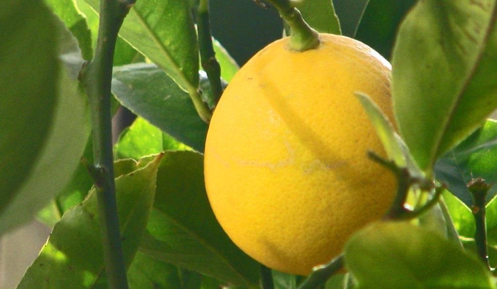 Лимон в домашних условиях, основные этапы выращивания и ухода, а также лучшие сорта с описанием, характеристикой и отзывами