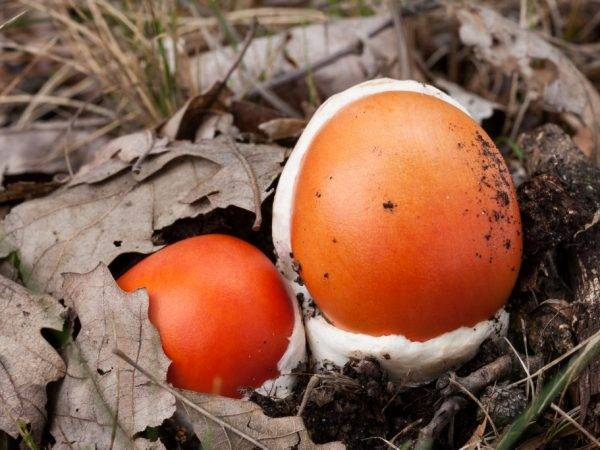 Царский гриб (мухомор цезаря): фото, описание, как выглядит