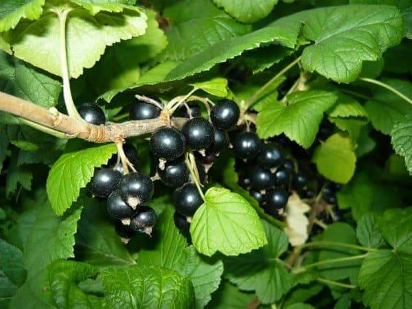 Смородина багира черная: описание сорта и отзывы