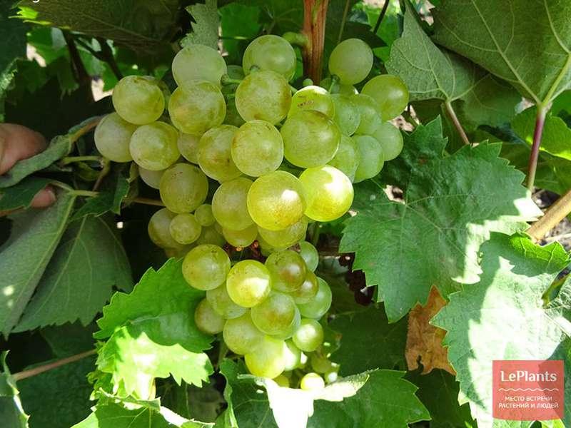 Как посадить виноград: когда правильно делать, особенности посадки осенью | спутниковые технологии