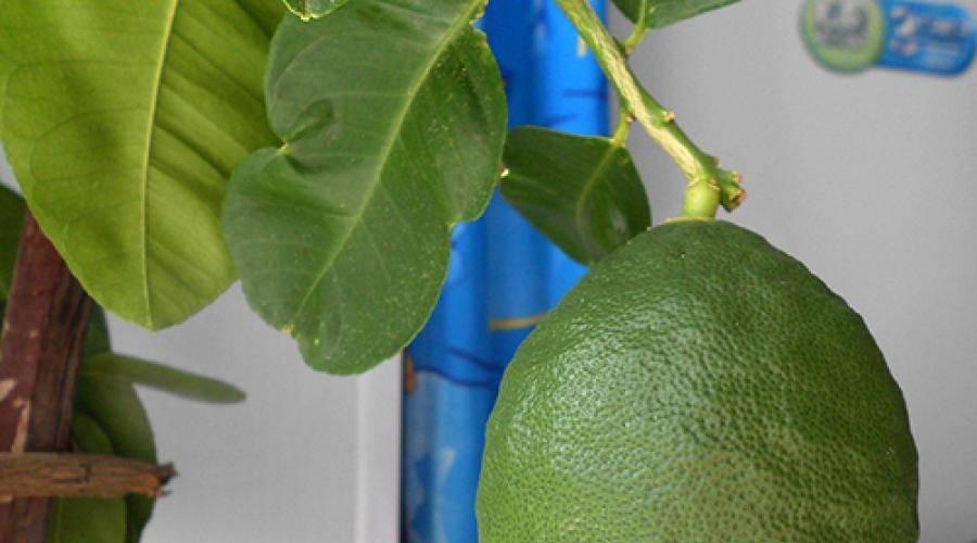 Лимон лунарио: описание сорта, уход за комнатным растением в домашних условиях