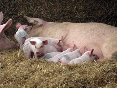 Содержание свиней в домашних условиях для начинающих, как вырастить