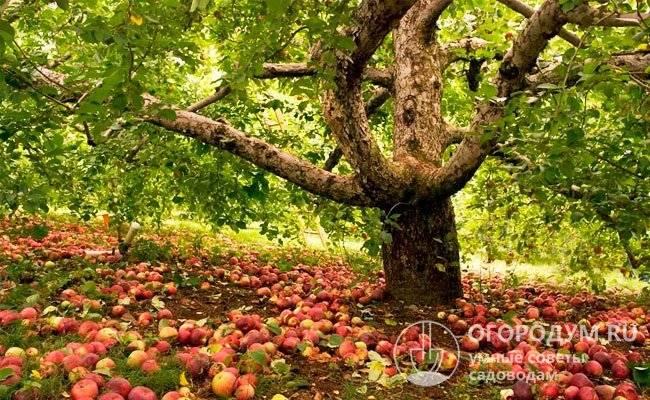 Средние сроки жизни яблони