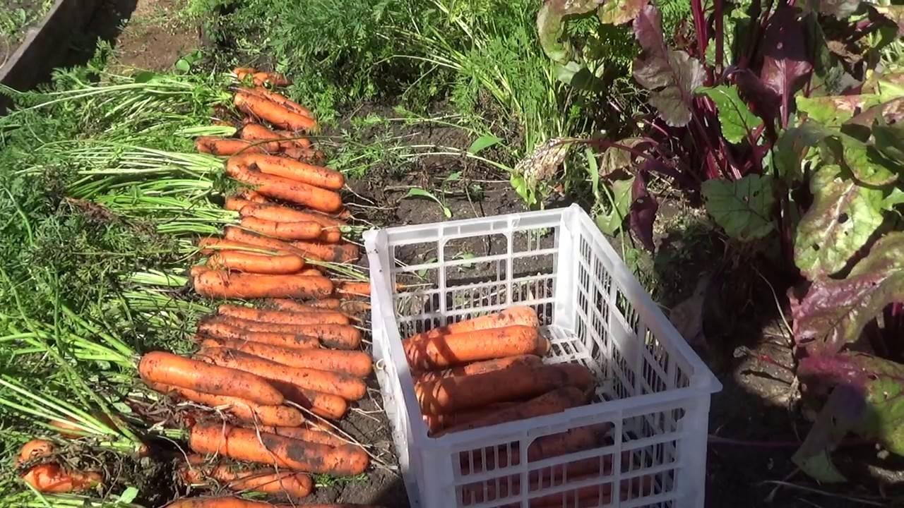 Благоприятные дни для уборки моркови в 2021 году на хранение