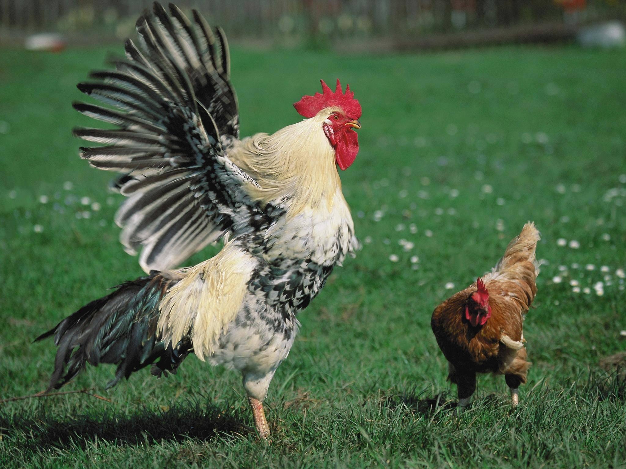 Несутся ли куры без петуха: строение организма курицы и роль самца в курятнике