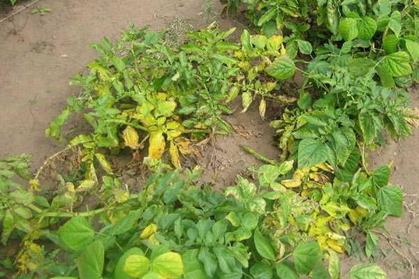 Можно ли срезать высокую ботву у картошки после цветения