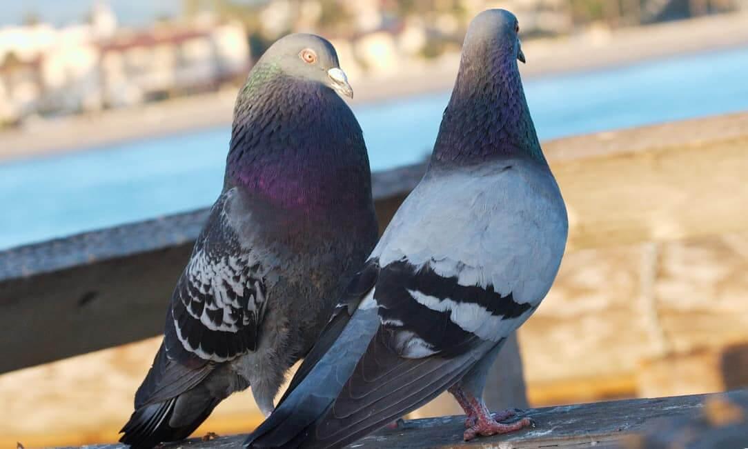 Как определить пол голубя - чем голубка отличается от самца