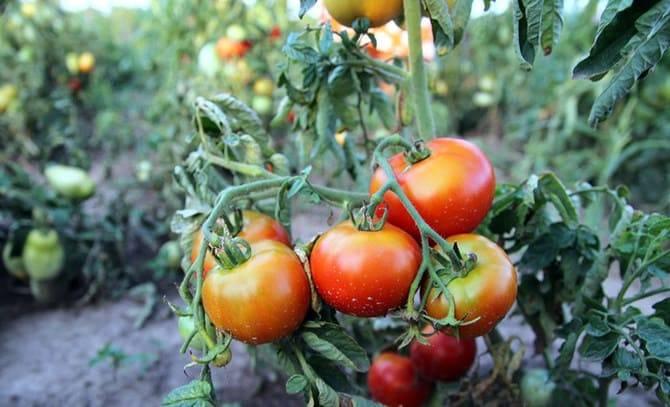 Когда сажать помидоры на рассаду в 2021 году + благоприятные дни по лунному календарю