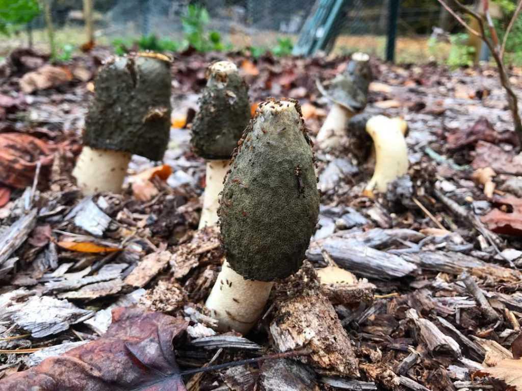 Веселка: полезные и лечебные свойства, вред и применение гриба, настойка
