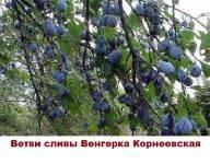 Слива «Венгерка Московская»: описание сорта, отзывы, фото