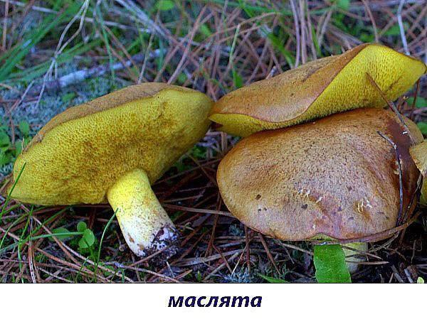 Съедобные грибы: фото и названия