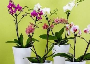 Инструкция, как пересадить цветущую орхидею в домашних условиях
