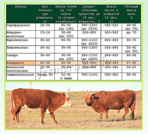Калмыцкая порода коров: характеристика, уход и кормление