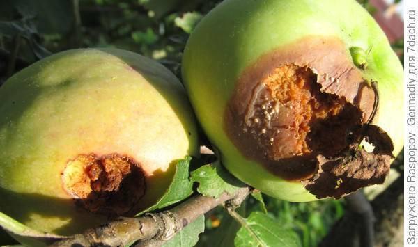 Яблонная плодожорка, описание, фото, чем опасна, меры борьбы, профилактика