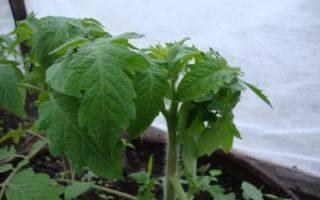 У рассады помидоров скручиваются листья – что делать