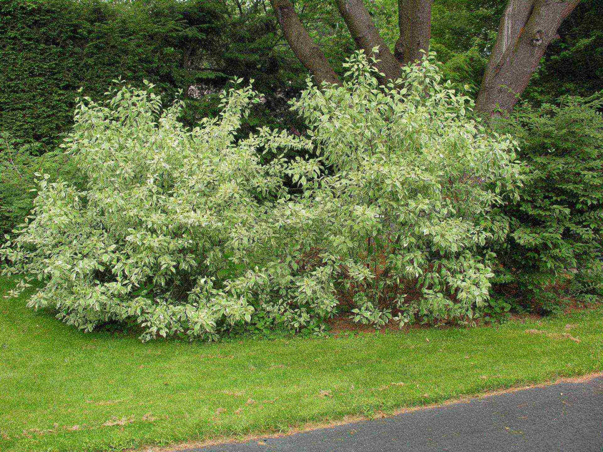 Белый дерен и другие виды в саду, размножение, уход и фото