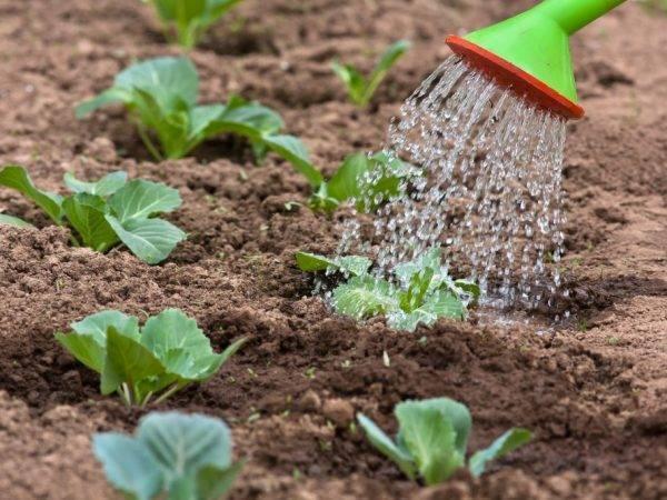 Полив капусты с удобрениями