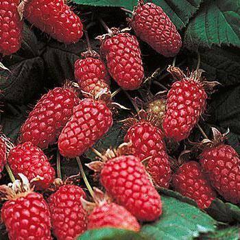 Выращивание ежемалины на даче: в подмосковье, описание, сорта, тайберри, логанберри, бойсенберри, посадка, размножение, обрезка, уход, отзывы