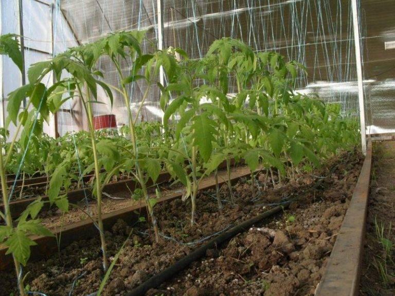 Простая и эффективная подкормка для помидоров из дрожжей: плюсы и минусы, способ приготовления и другие нюансы
