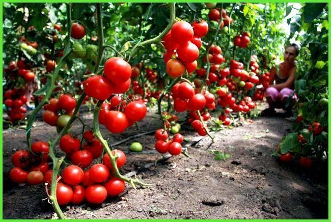 Парник для помидоров своими руками