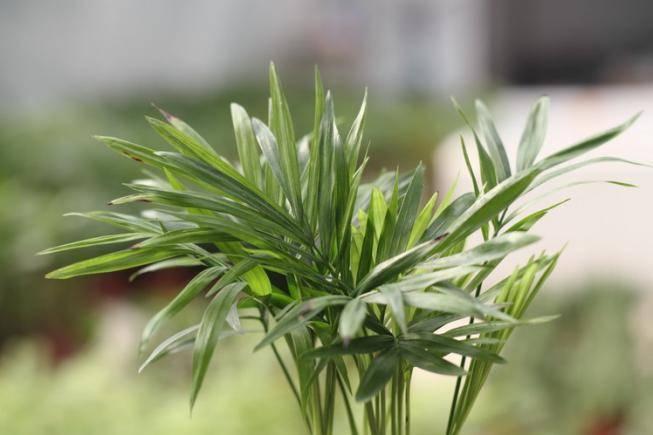 Какие комнатные растения бывают похожи на пальму: описание и их разновидности