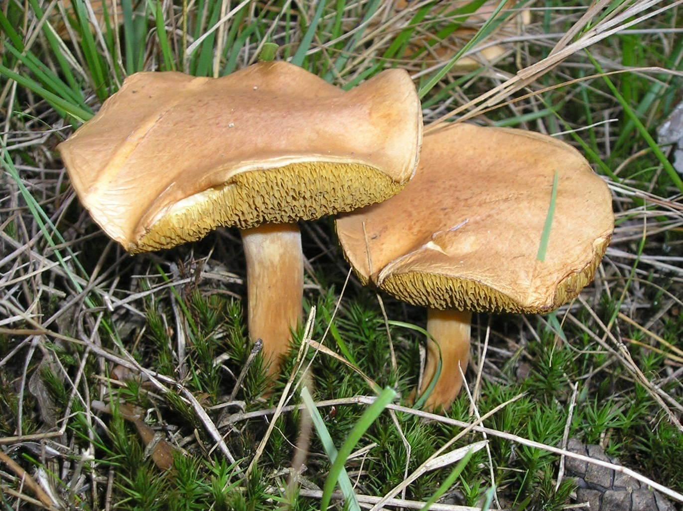 Гриб козляк (suillus bovinus): информация, где растет, виды, фото