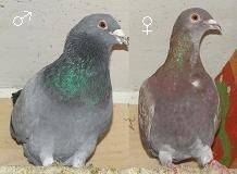 Как отличить голубя от голубки по внешним признакам