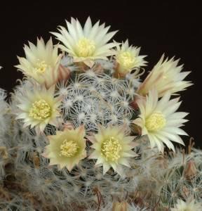 Кактус маммиллярия: методы по уходу за растением и популярные виды