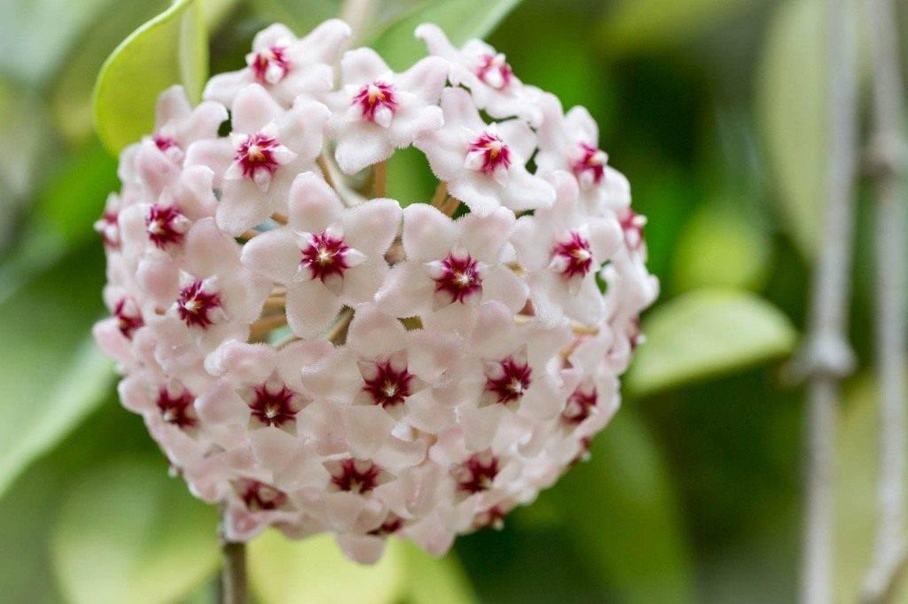 Хойя (89 фото): уход за комнатным цветком в домашних условиях. описание воскового плюща, лакунозы, мультифлоры и других видов растения