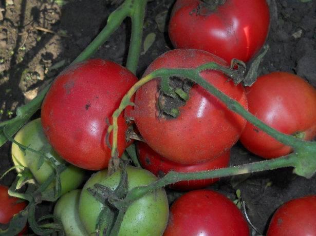 Сорт «видимо-невидимо» – бессчетный урожай томатов