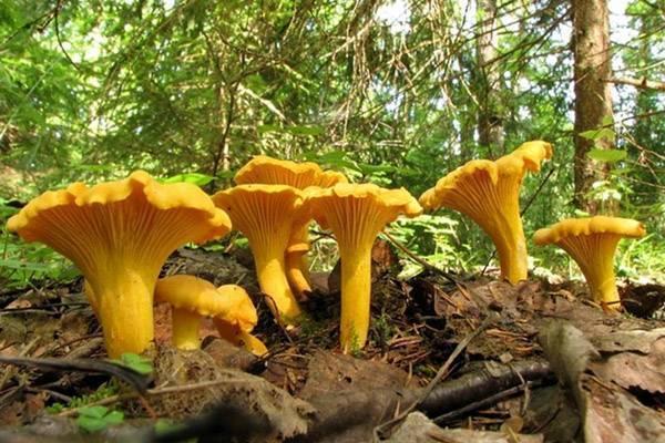 Лисички - описание, свойства, особенности, фото съедобного гриба