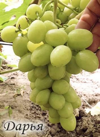 Дарья — виноград раннего срока созревания — стр. 4 — сорта винограда на д
